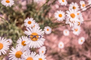Daisies in Summer Free Photo