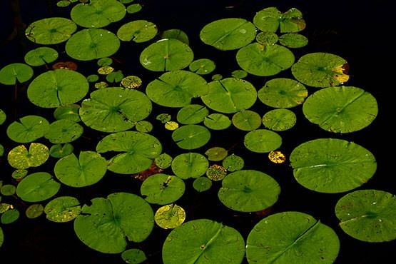 Lily Pads on Pond Free Photo