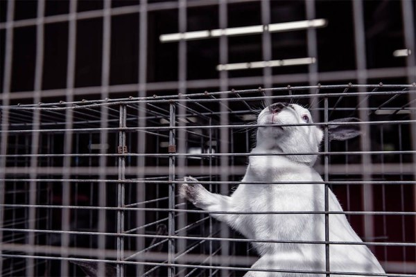 Sad Caged Pet Rabbit Free Photo