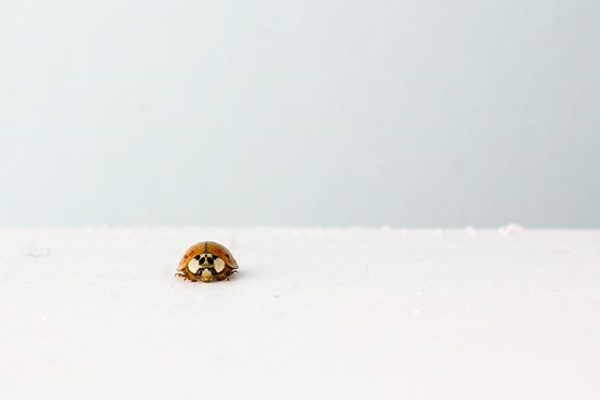 Small Isolated Ladybug Free Photo