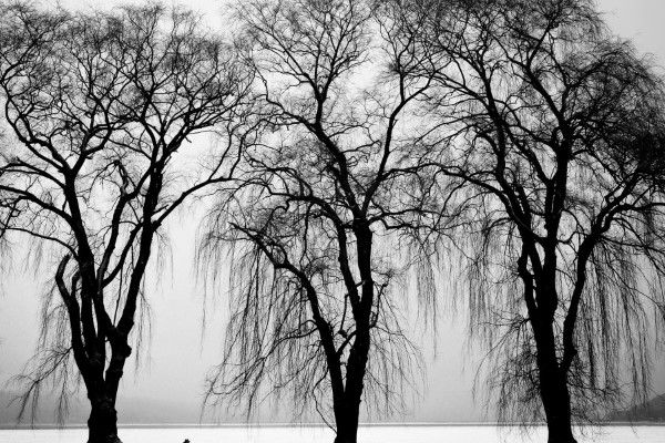 Black White Trees In Winter Free Photo Nature