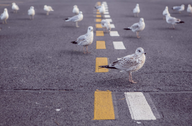Seagulls on Road Free Photo