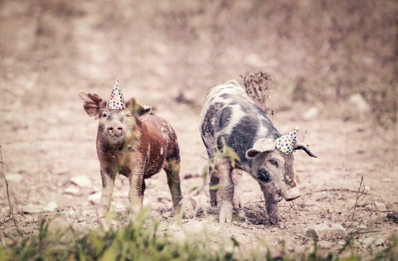 Party Pigs Free Stock Photo