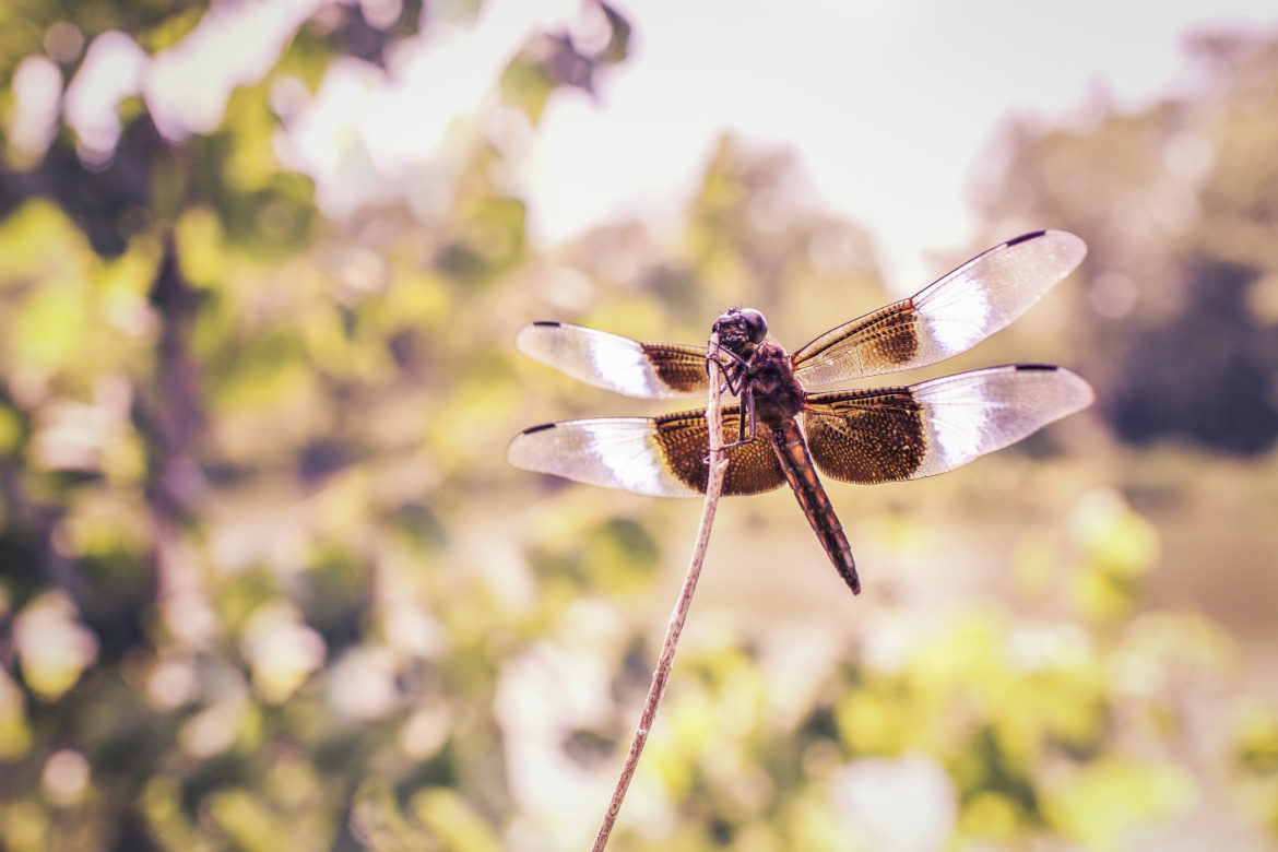 Flying Dragonfly Free Photo
