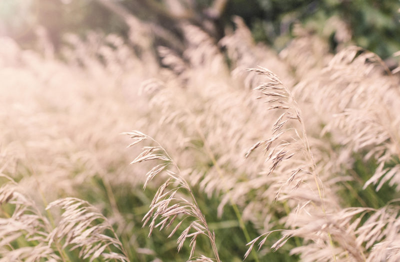 Summer Wheat Fields Free Photo