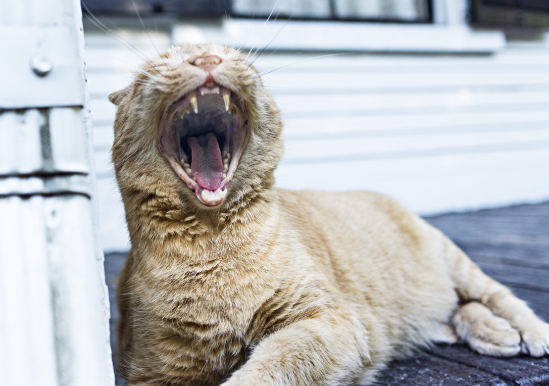 Yawning Tabby Cat Free Photo