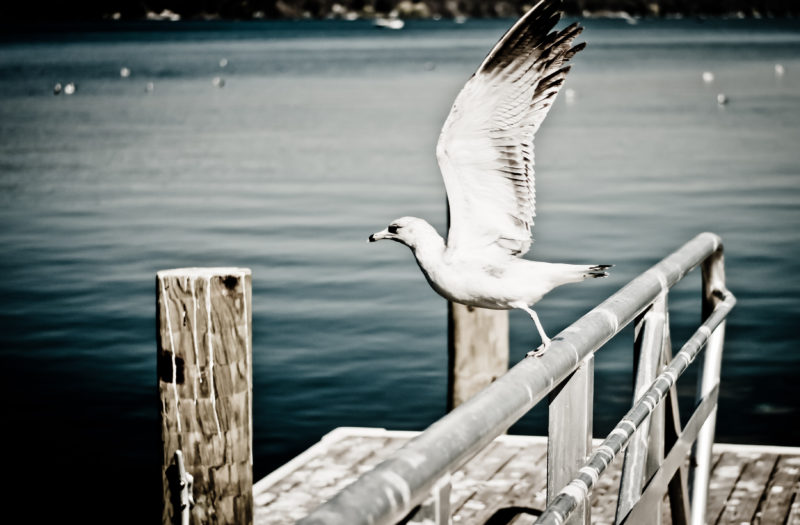 White Seagull Free Photo