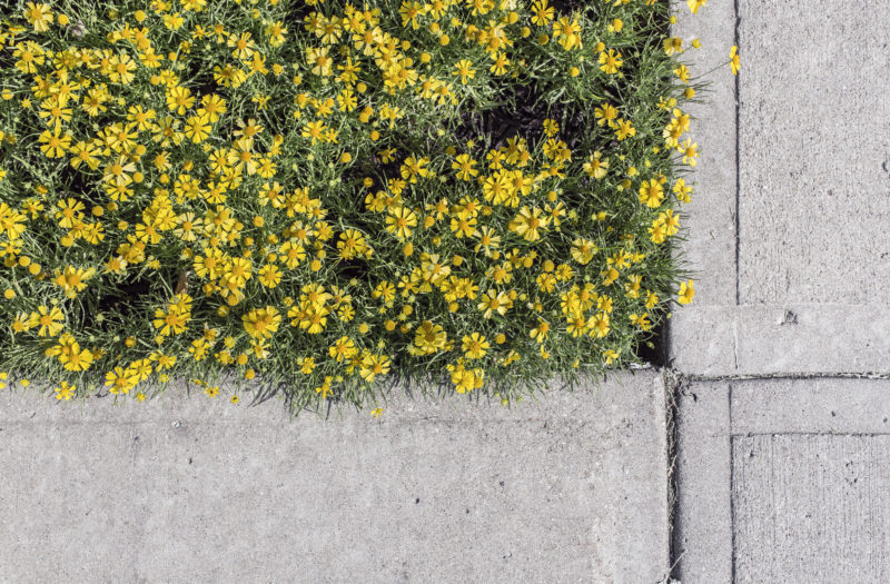 Yellow Flowers on Sidewalk Free Photo