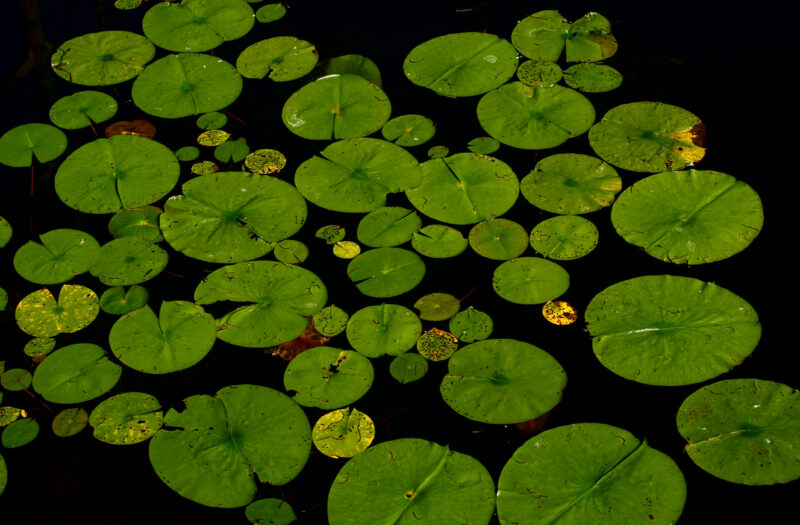 Lily Pads on Pond Free Stock Photo