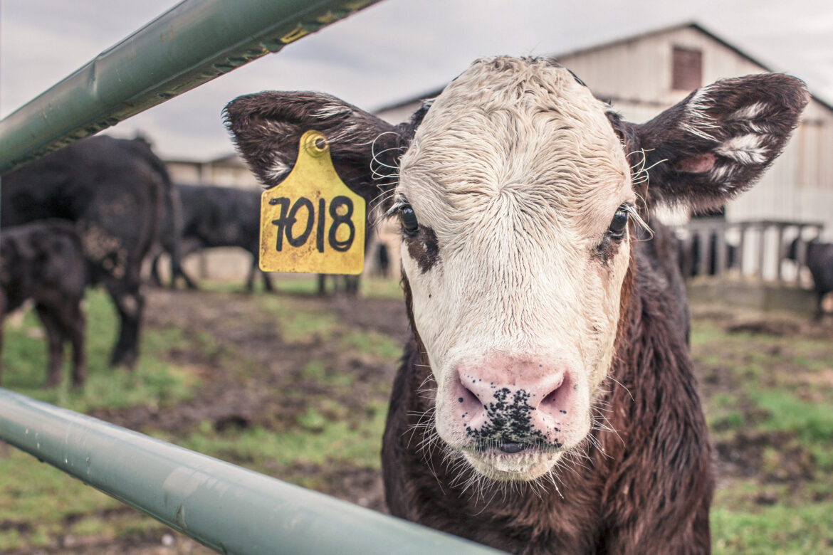 Tagged Cow Free Stock Photo