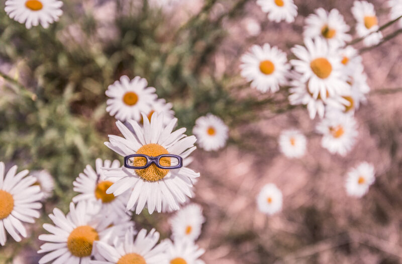 Daisies in Summer Free Stock Photo