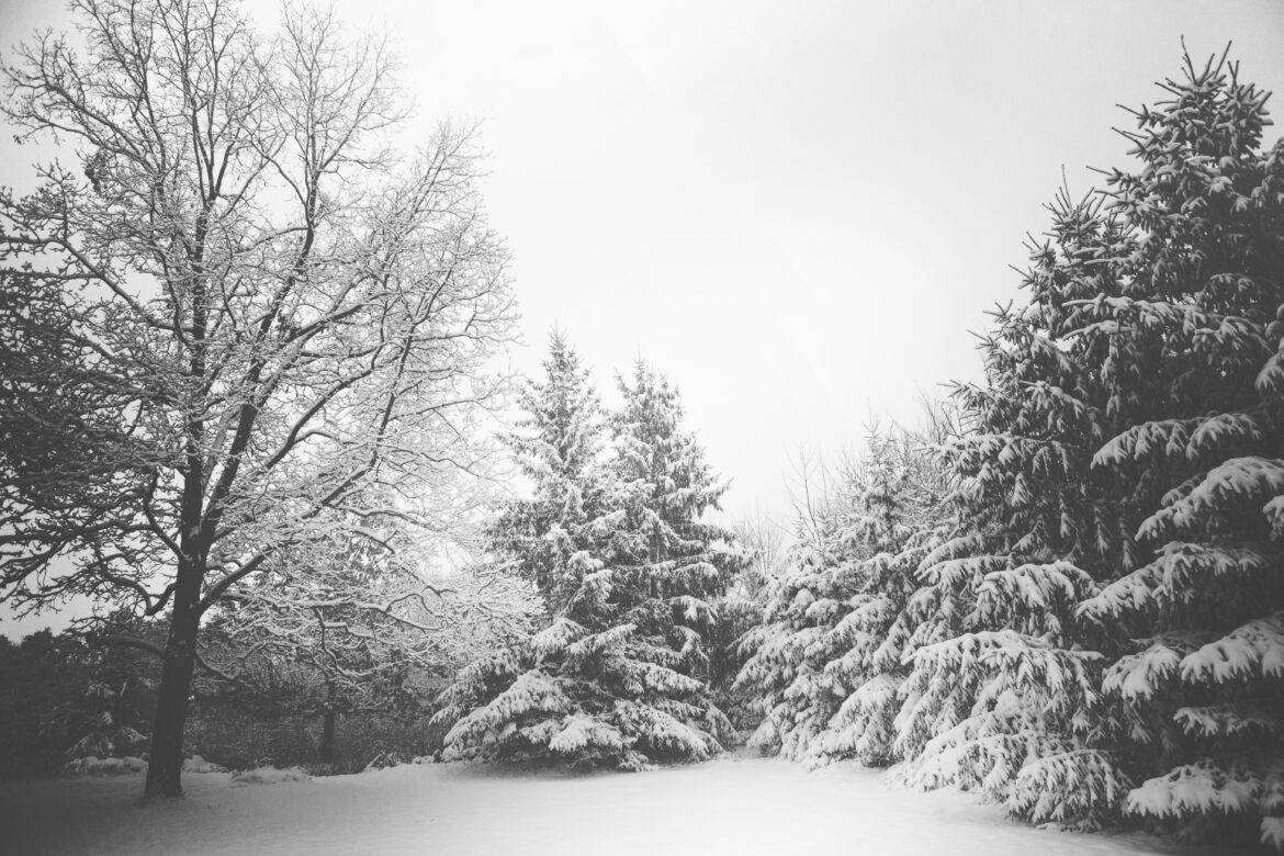 Snowy Trees in Winter Free Stock Photo