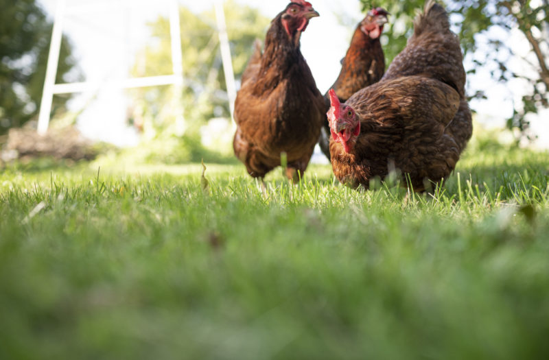 Free Range Chicken Farm Free Stock Photo
