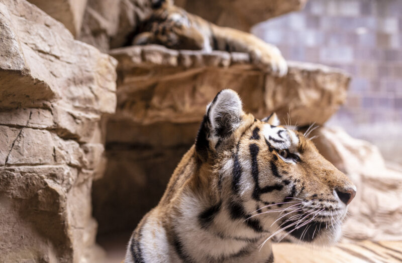 View Tiger Zoo Free Stock Image